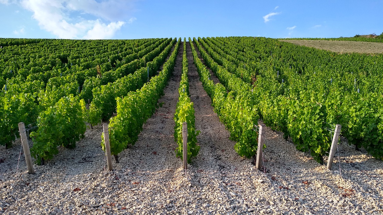 New Zealand sauvignon blanc vineyard